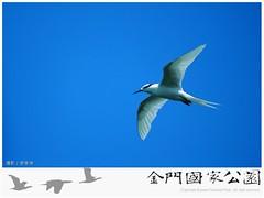 蒼燕鷗(攝影/廖東坤)