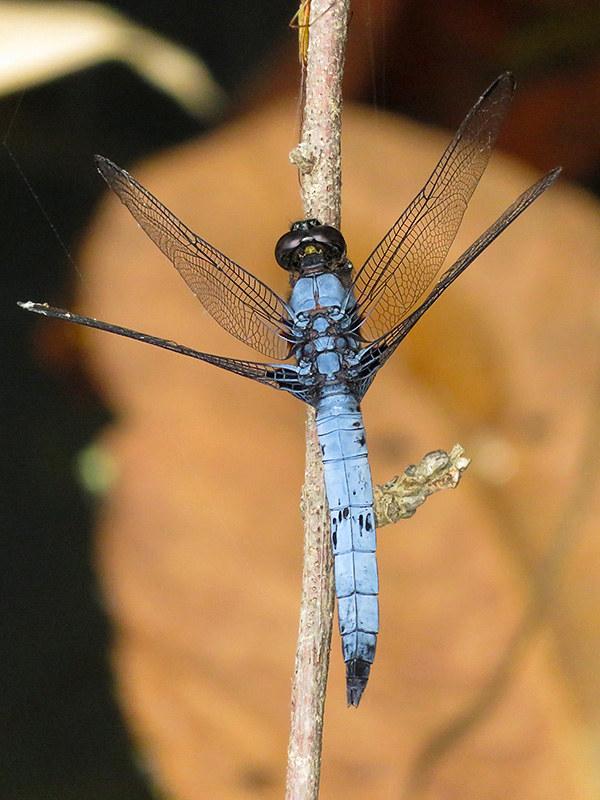 Orthetrum albistylum speciosum. Male