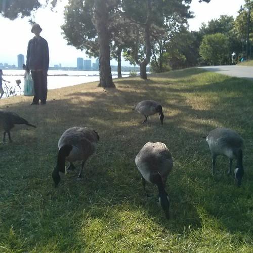 Canada geese feeding, 1 #toronto #lakeontario #marilynbellpark #birds #canadagoose