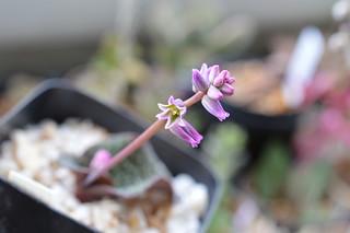 DSC_3309 Resnova megaphylla レスノバ メガフィラ