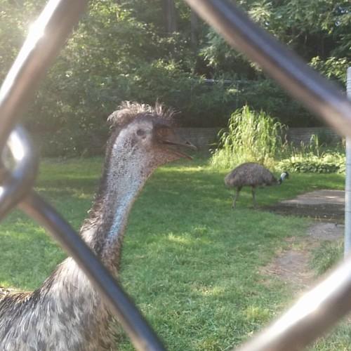 Good archosaur, pretty archosaur #toronto #highpark #highparkzoo #birds #emu #dinosaurs #archosaurs