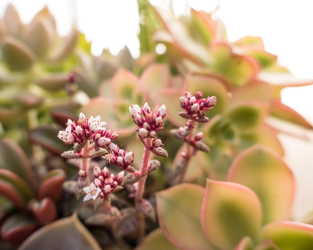 flowering succulents