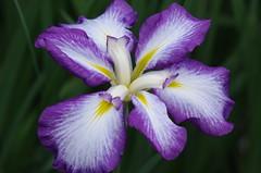 Iris flowers in Koishikawa Korakuen