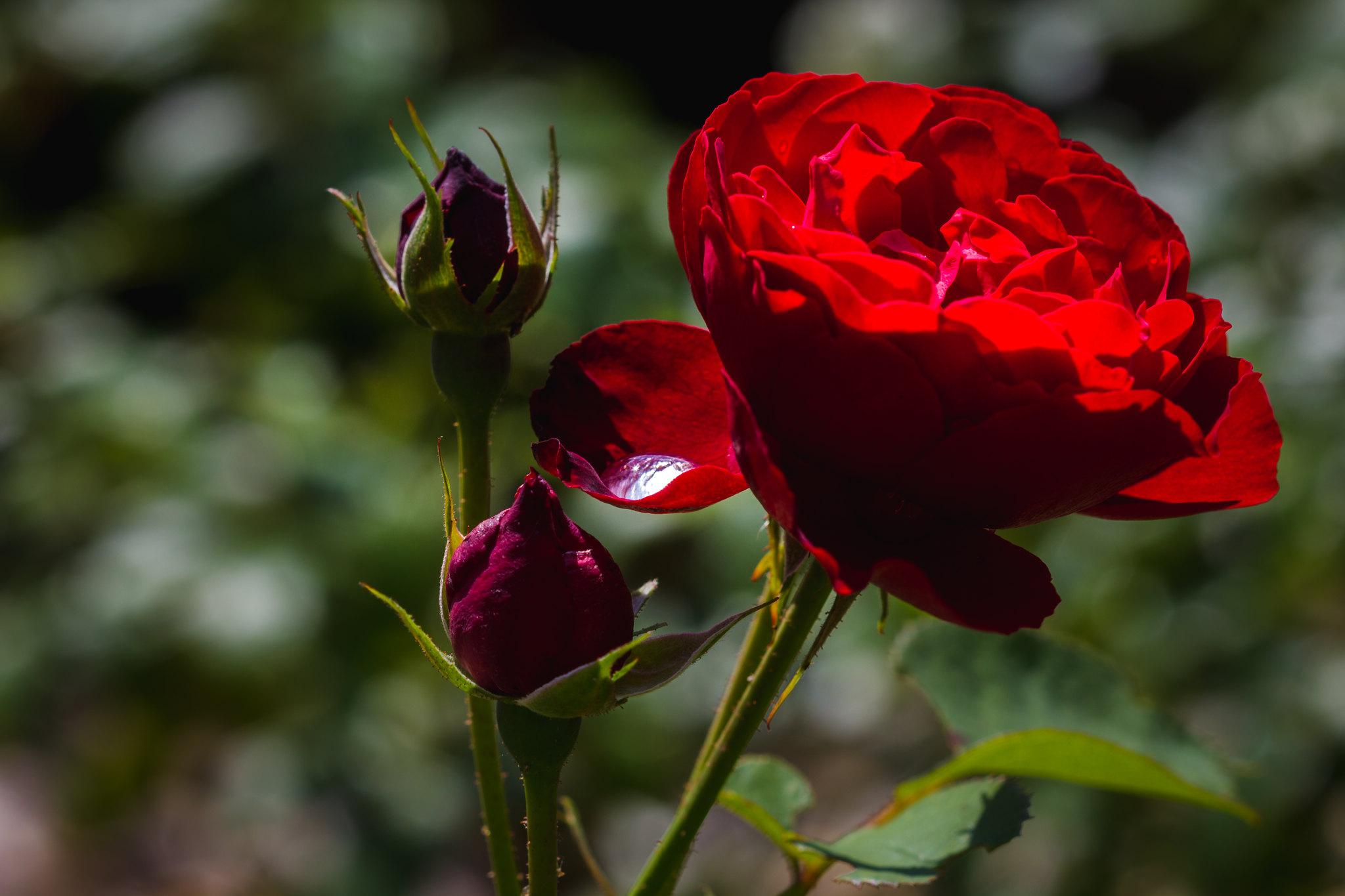 Red rose after summer rain