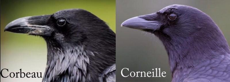 Corneille ou Grand Corbeau 28757929015_2925e22d84_c