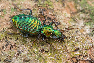 Ground beetle (Catascopus sp.) - DSC_9728