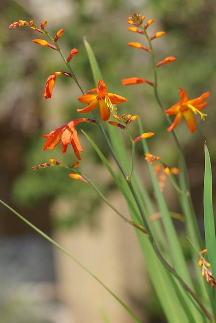 Crocosmia × crocosmiiflora 28212354751_354617188c_z