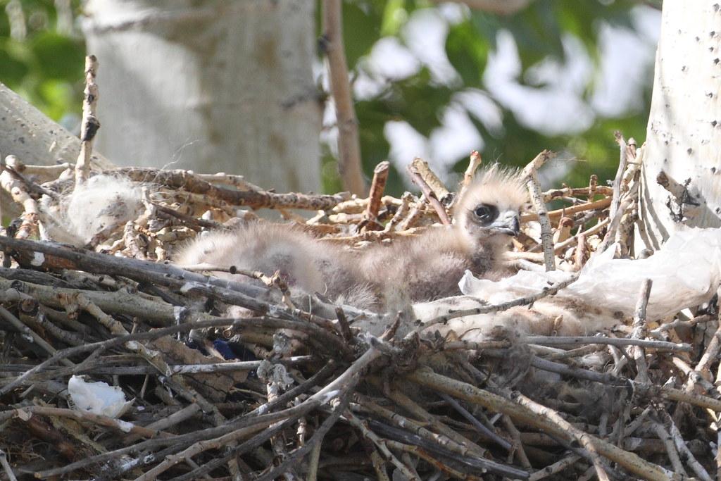 Nestlings of a Black Kite
