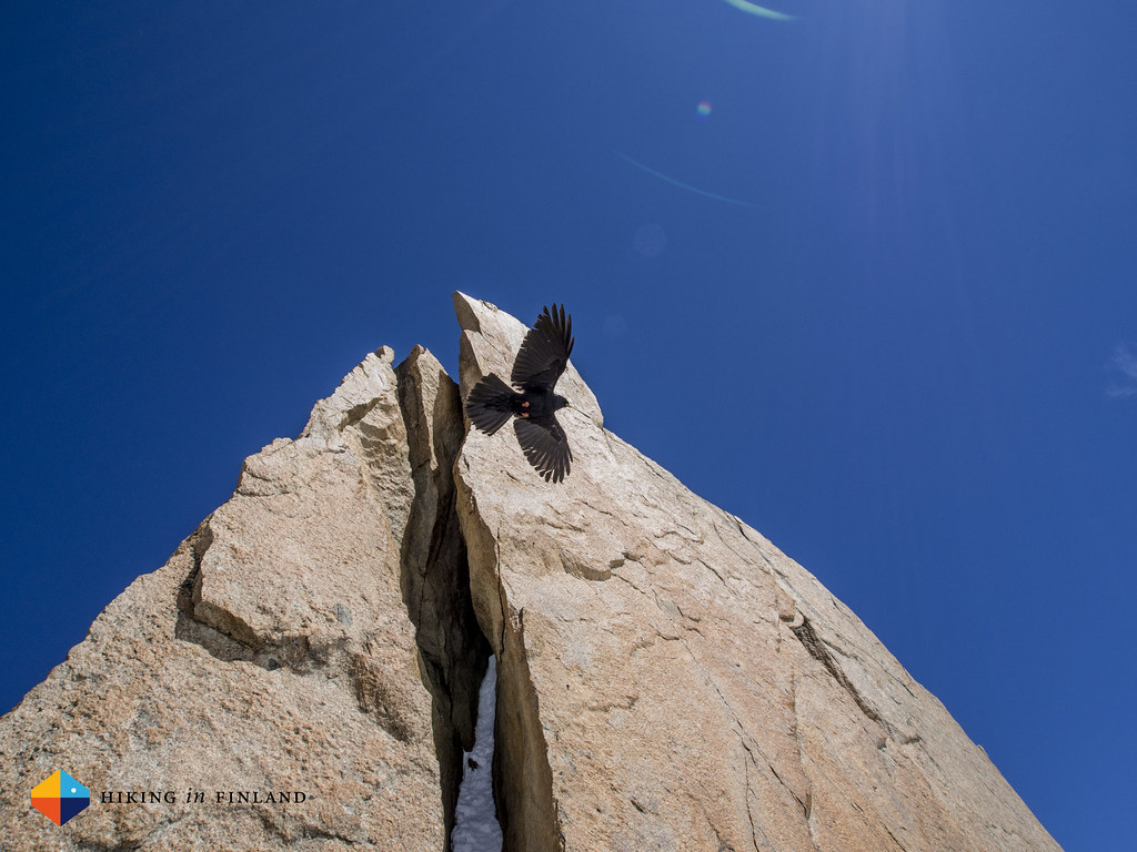 Alpine Chough sailing