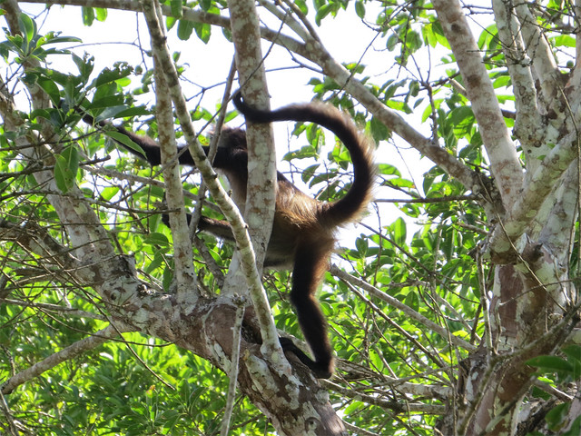 spider monkey at ruins at Chacchoben