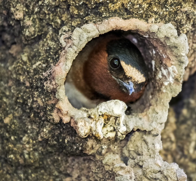 Cliff-Swallow-14-7D2-240716