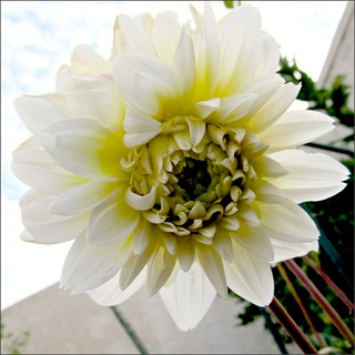White and yellow dahlia