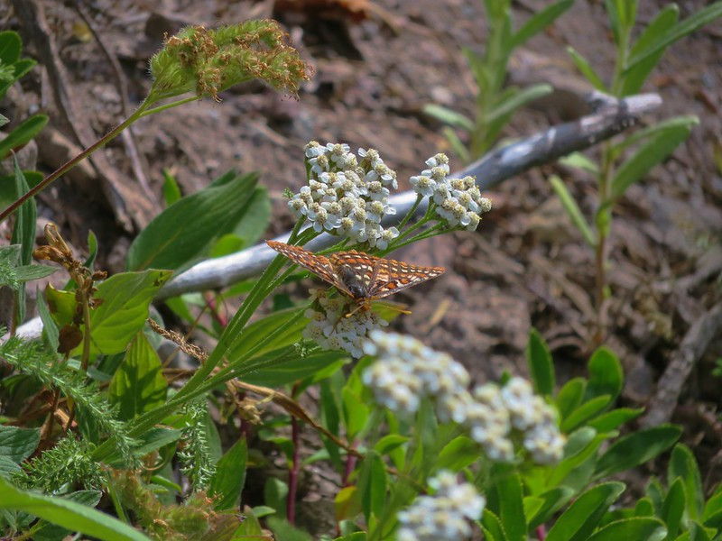 Fritillary butterfly on yarrow