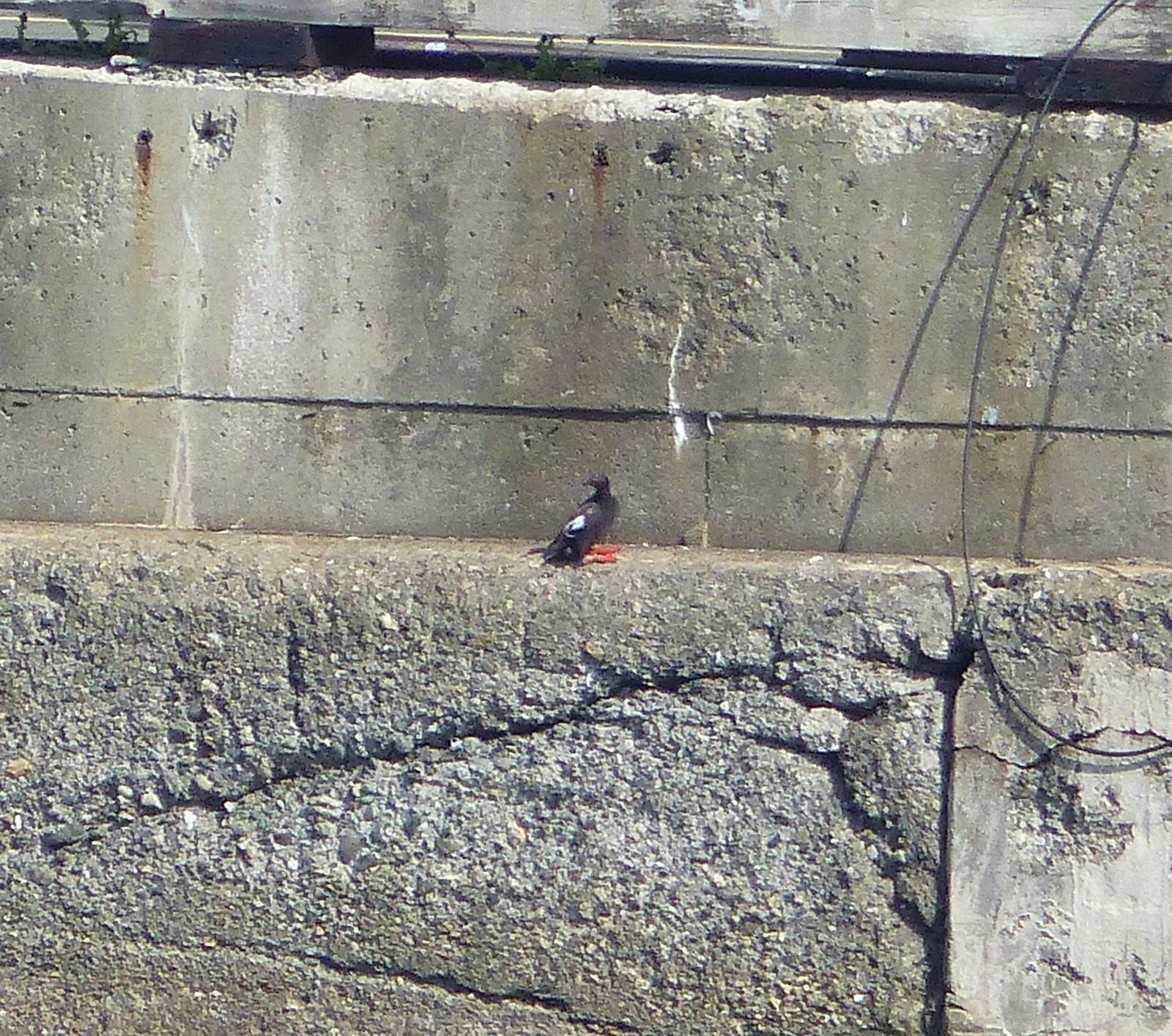 Pigeon Guillemot, Ogden Pt. Breakwater, Victoria, BC, 8-6-16, M. Long (6)
