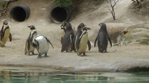 London Zoo July 16 penguins 2