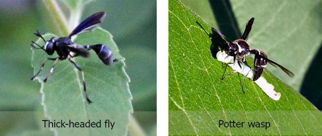 comparison of fly vs. potter wasp - hard to see wasp's antennae but heads are different