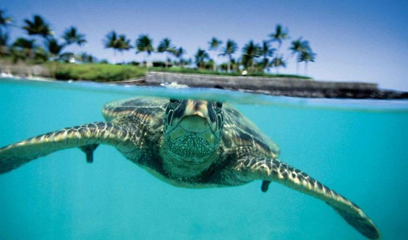 Sea turtle surfing the waves in Hawaii.