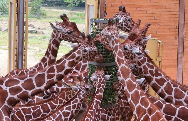 Etende giraf blijdorp